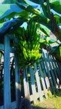 Palma della banana fotografia stock