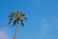 Palma della California nel cielo Fotografia Stock Libera da Diritti