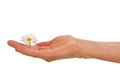 Palma della donna con il fiore della margherita bianca Fotografie Stock Libere da Diritti