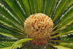 Palma della frutta secca Fotografie Stock Libere da Diritti