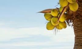 Palma della noce di cocco Fotografia Stock