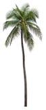 Palma della noce di cocco Fotografie Stock