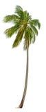 Palma della noce di cocco Fotografia Stock Libera da Diritti