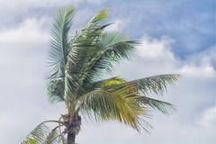 Palma della noce di cocco Immagine Stock Libera da Diritti