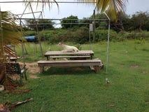 Palma della pianta di Anguilla della Tabella della capra Fotografie Stock Libere da Diritti