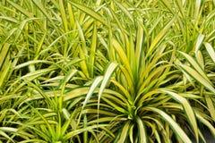 Palma della vite di baptistii del Pandanus in giardino tropicale Fotografie Stock Libere da Diritti