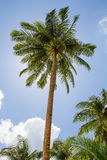 Palma delle noci di cocco Fotografia Stock Libera da Diritti