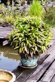 Palma di bambù del palma di signora o nel giardino tropicale Fotografia Stock