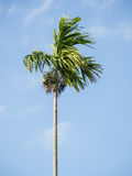 Palma di betel Immagini Stock Libere da Diritti
