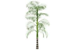 Palma di betel isolata su bianco con il percorso di residuo della potatura meccanica Fotografie Stock