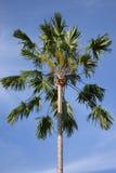 Palma di betel sola Fotografia Stock