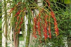 Palma di betel sull'albero Immagini Stock