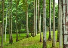 Palma di betel verde Immagini Stock Libere da Diritti