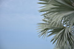 Palma di Bismark Fotografia Stock