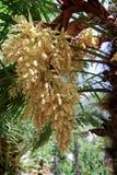 Palma di fioritura Fotografia Stock