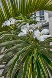 Palma di fioritura del Madagascar Immagine Stock Libera da Diritti