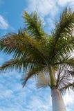 Palma di fioritura e un cielo nuvoloso fotografia stock