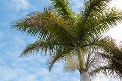 Palma di fioritura e un cielo nuvoloso immagini stock libere da diritti