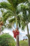 Palma di Natale o palma di Manila immagine stock libera da diritti