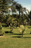 Palma di noce di cocco Immagini Stock