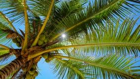 Palma di noce di cocco Fotografie Stock