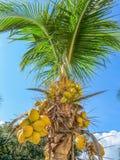 Palma di noce di cocco Fotografie Stock Libere da Diritti