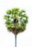 Palma di Palmira dell'asiatico delle palme da zucchero (borassus flabellifer) Immagini Stock Libere da Diritti