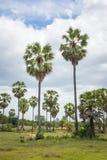 Palma di Palmira dell'asiatico delle palme da zucchero (borassus flabellifer) Fotografie Stock
