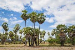 Palma di Palmira dell'asiatico delle palme da zucchero (borassus flabellifer) Fotografia Stock