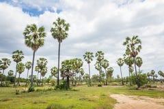 Palma di Palmira dell'asiatico delle palme da zucchero (borassus flabellifer) Immagine Stock Libera da Diritti