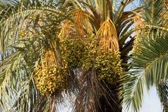 Palma di Phoenix con le date non mature Fotografia Stock Libera da Diritti