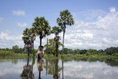 Palma di Toddy in laguna Fotografia Stock Libera da Diritti