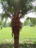 PALMA DO BISMARK, PAISAGEM SUBTROPICAL Imagem de Stock