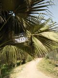 PALMA DO BISMARK, PAISAGEM SUBTROPICAL Imagens de Stock