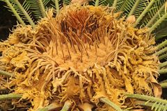 Palma do Cycas Imagens de Stock Royalty Free