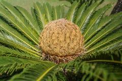 A palma do Cycas com uma grande semente nela é centro Fotografia de Stock Royalty Free