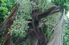 Palma do Natal nos trópicos Foto de Stock
