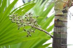 Palma do tala em um forst Fotos de Stock