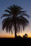Palma dopo il tramonto Fotografia Stock