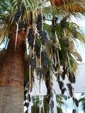 Palma e frutta dell'uva Fotografie Stock