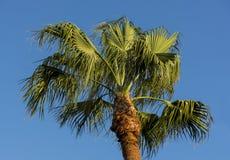 Palma en fondo del cielo azul Fotos de archivo libres de regalías