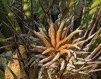 Palma a forma di stella concentrare dell'albero Fotografie Stock Libere da Diritti