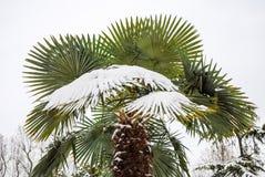 Palma grande na neve Foto de Stock Royalty Free