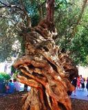 Palma Histree - oliveira Foto de Stock Royalty Free