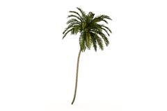 Palma isolata Fotografie Stock Libere da Diritti
