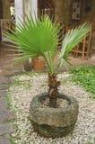 palma jardim colonial no platô semeado da pedra calcária cercado pelas pedras brancas foto de stock