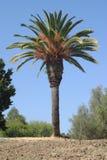 palma kalifornii Fotografia Royalty Free