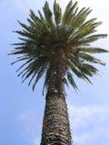 palma kalifornii Zdjęcie Royalty Free