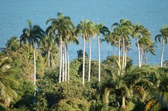 palma kokosowa Obrazy Royalty Free