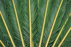 Palma leaves texture Royalty Free Stock Photo